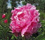 Крупные пионы – самые красивые сорта (фото), розовые, желтые, белые и другие, посадка в горшке или саду